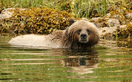 Khutzeymateen grizzly / photo by david buston